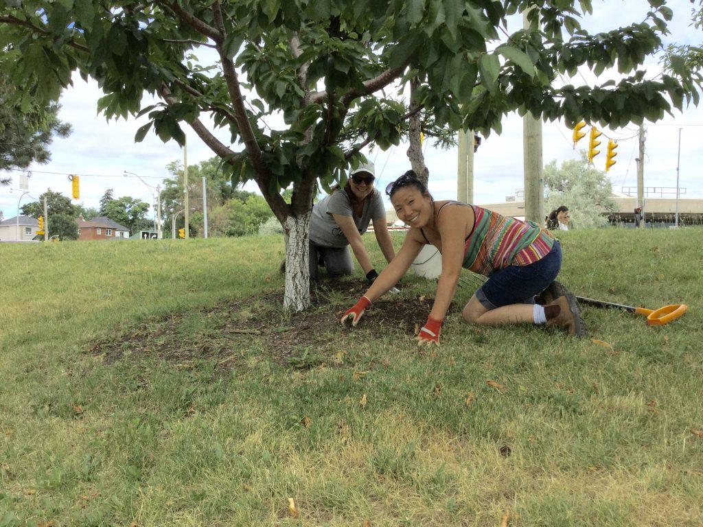 Two women weeding around cherry tree