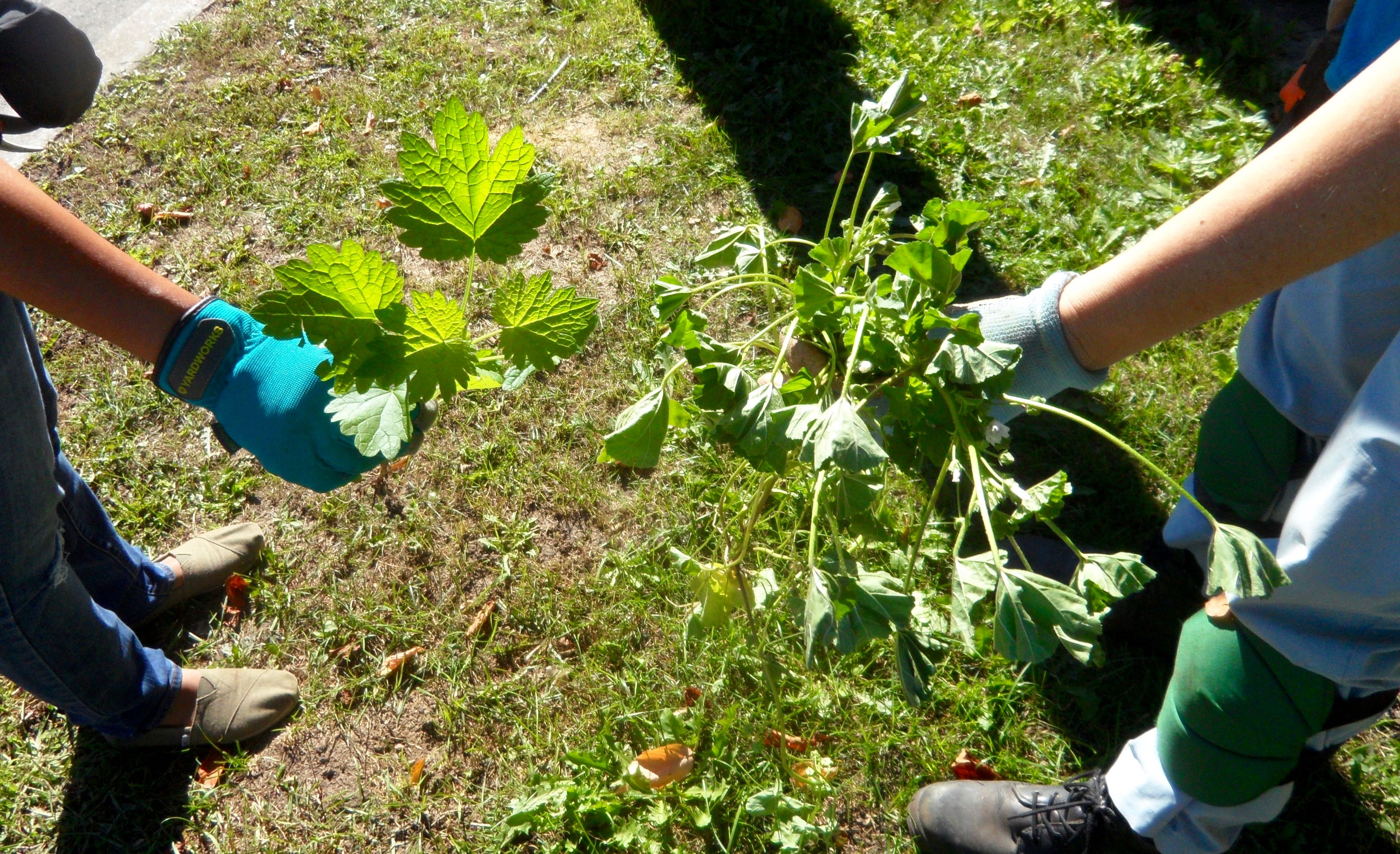 Common Mallow (drooping, on the right) was one of the weeds of the day during this month's stewardship session.